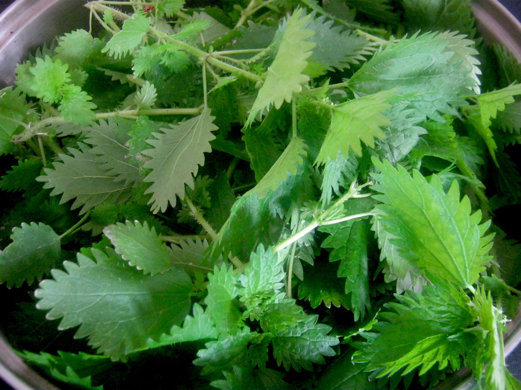 Freshly picked stinging nettle plants in a pot