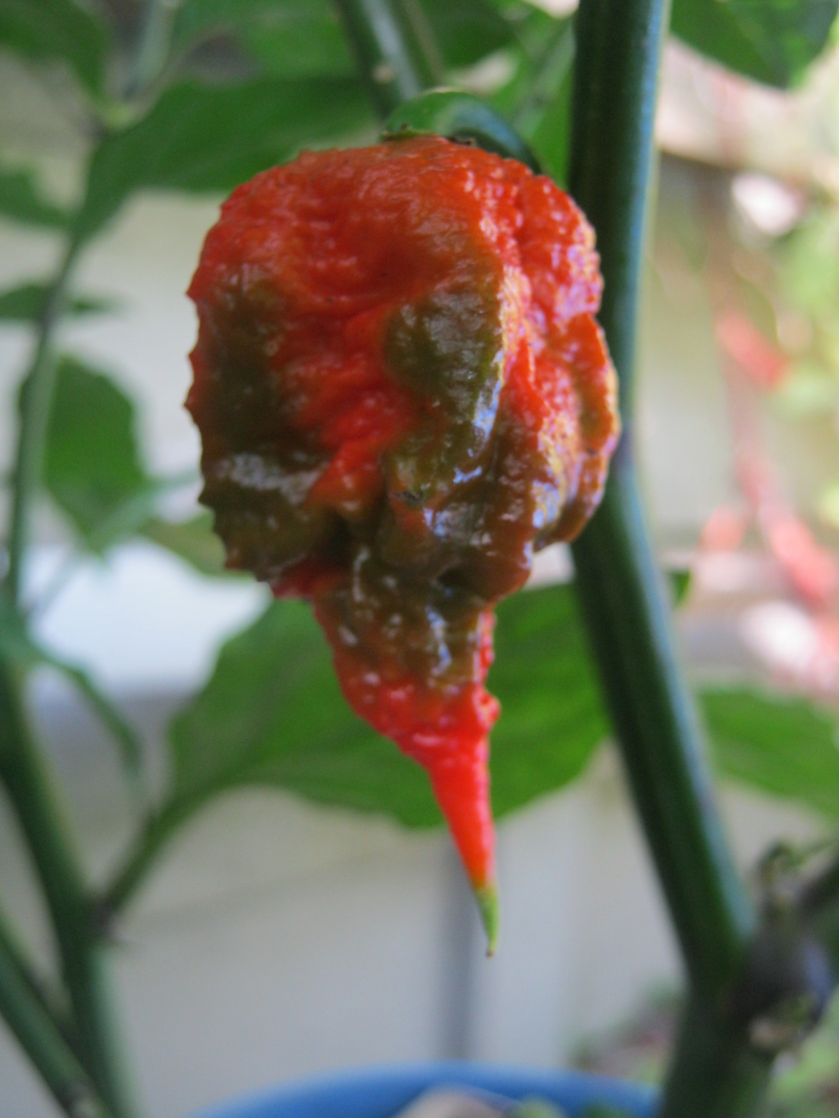 Chillies played a big part in Mayan food culture
