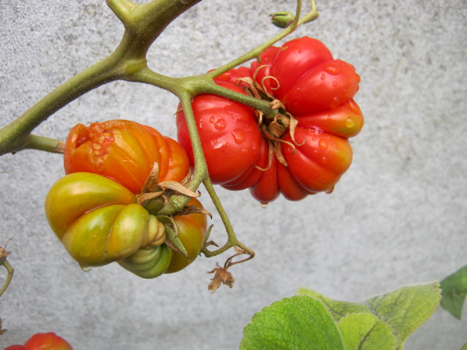 Genovese tomatoes grow big and are full of flavor.