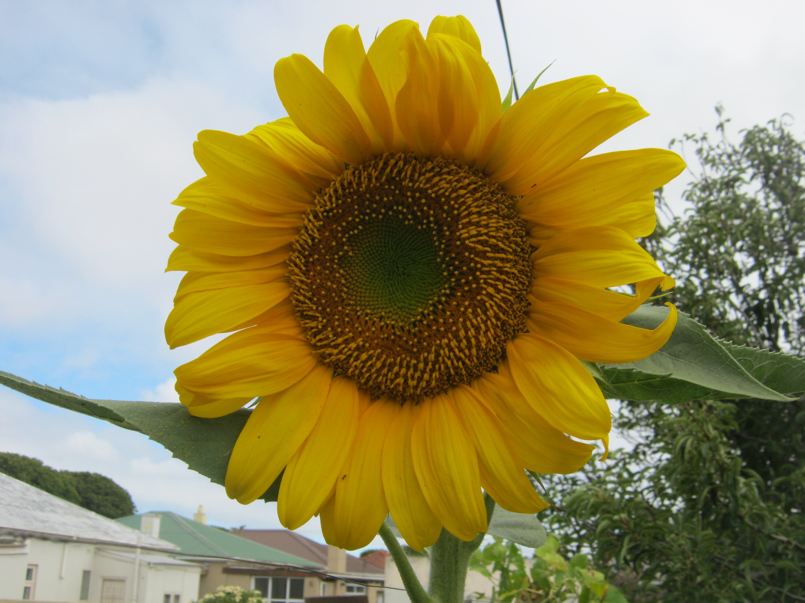 Growing your own fruit and vegetables like this giant sunflower is relaxing and ensures that you get some healthy food  directly from your garden onto your plate