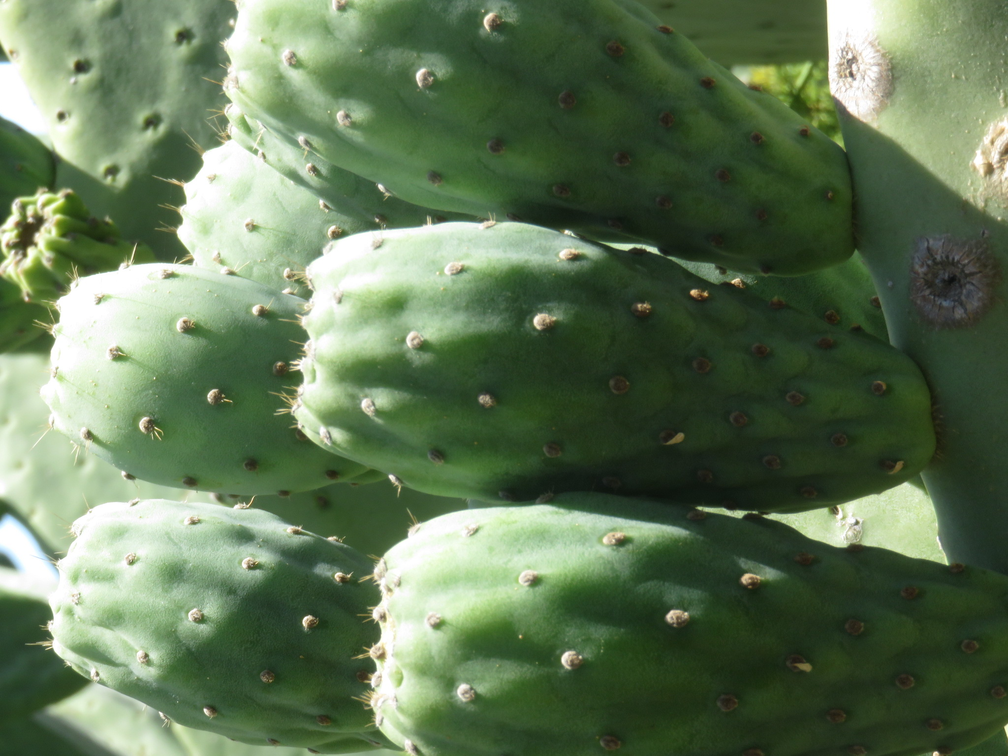 Fruit of the nopal cactus. The pads can also be de-thorned and eaten as a vegetable.
