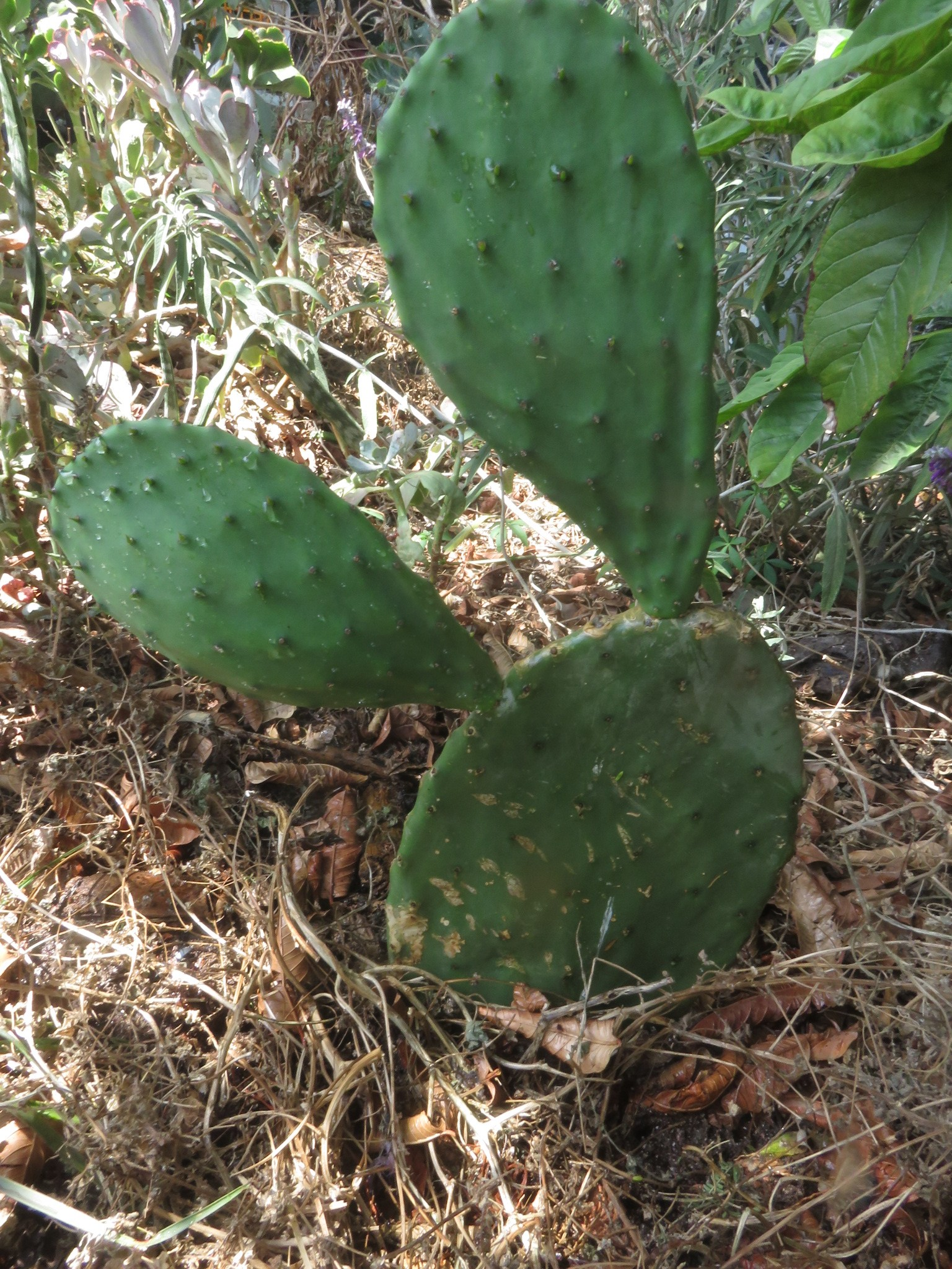This cactus has round ended pads at a better stage for harvesting