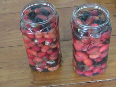 Fermenting wild plums in jars