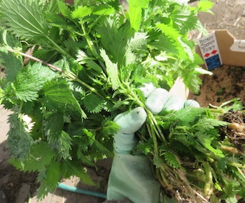 Freshly harvested Nettle plants