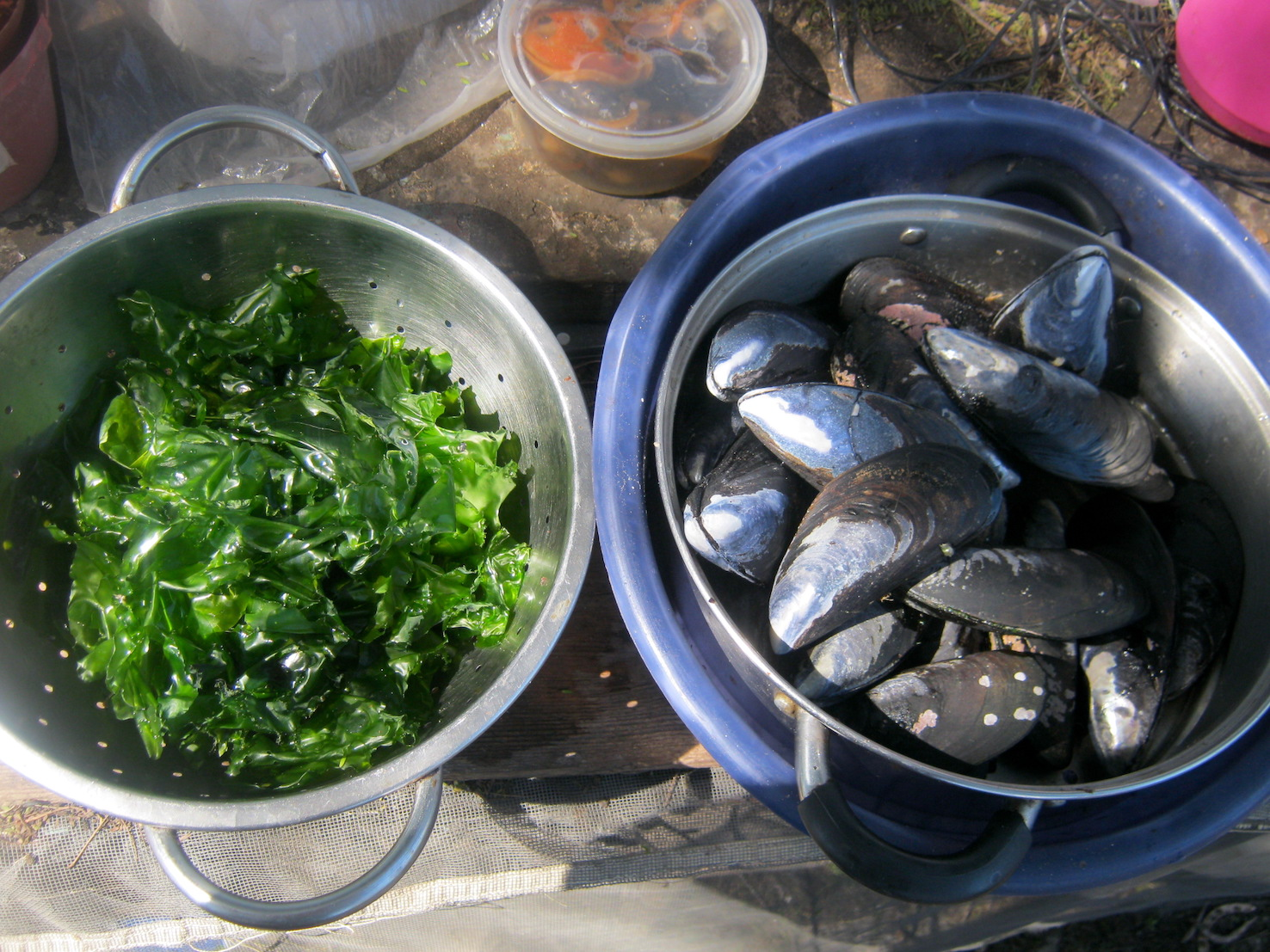 Black mussels and sea lettuce fresh from the sea