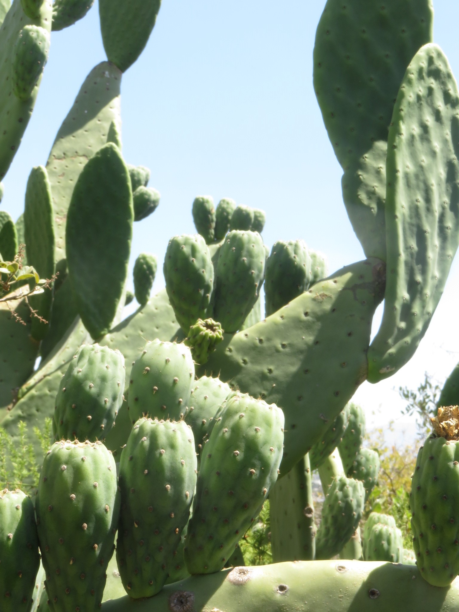A feral nopal cactus growing in the arboretum at Plattekloof